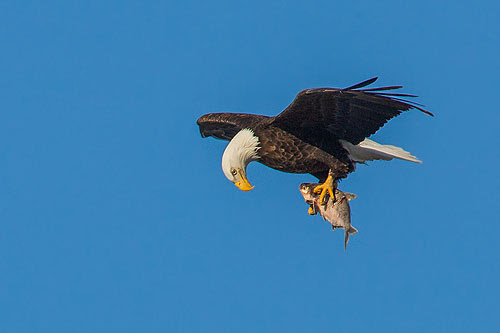 Eagle checks its catch.