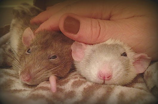 7 Reasons Why NOT to Leave Your Pet Rats Home Alone While You Travel | About Pet Rats