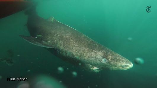 "NYT Science auf Twitter: ""Meet the Greenland Shark. It could be the longest-living vertebrate.  """