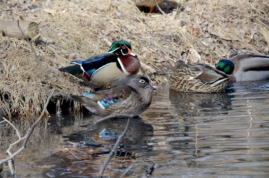 Wood ducks at High Park in Toronto
