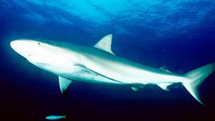 Tiburón macuira Foto LOUISE MURRAY/SCIENCE PHOTO LIBRARY