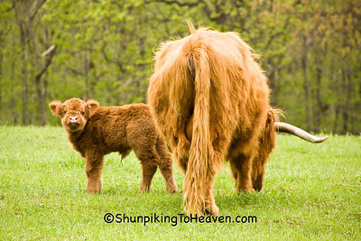 Highland Calf with Its Mother, Pike County, Ohio