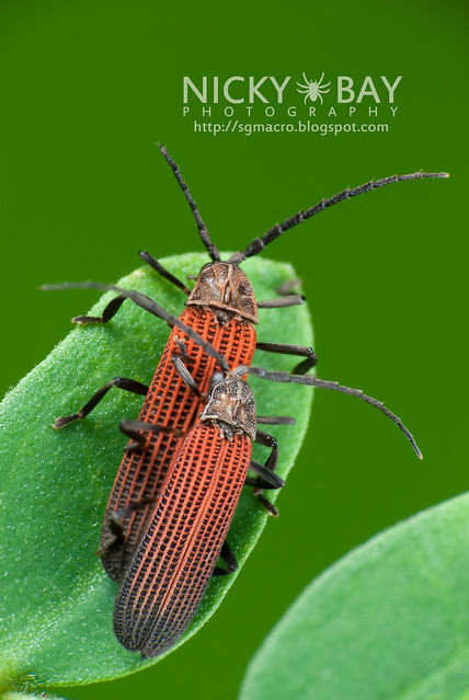 Net-winged Beetles (Lycidae) - DSC_7362