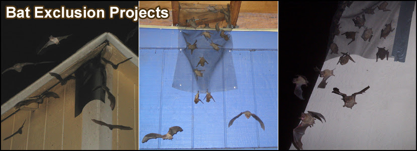 Bats In the Attic - How to Safely and Humanely Remove and ...