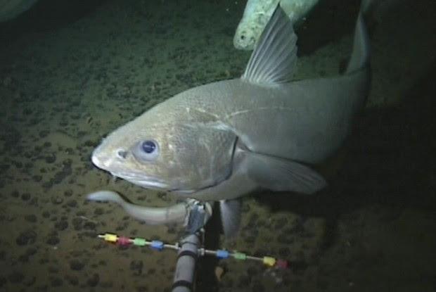 Imagens de peixes foram feitas a mais de 8 km de profundidade (Foto: BBC)