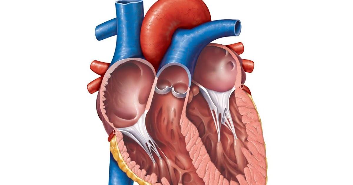 Unlabelled Heart Diagram - Human Anatomy
