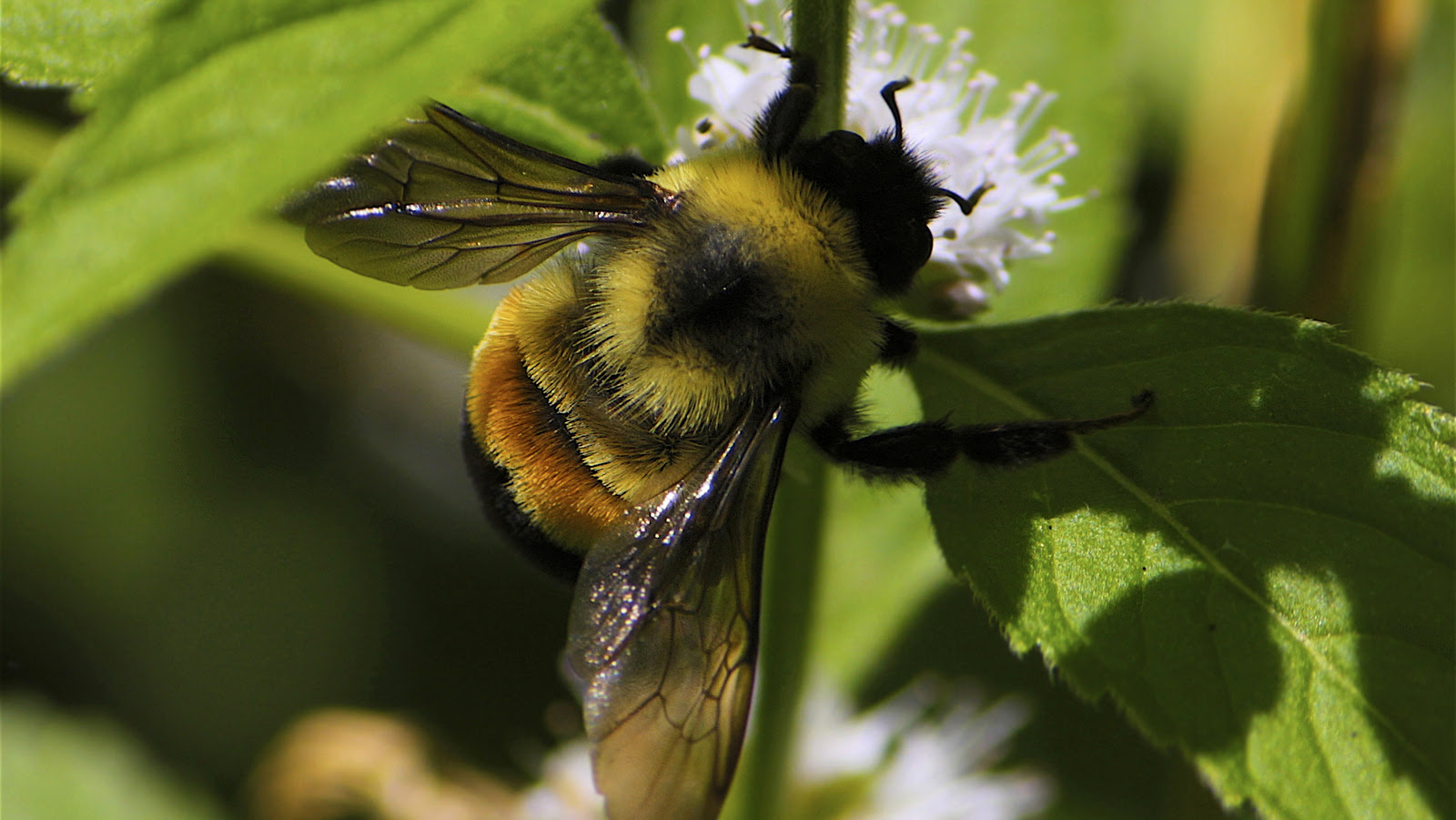 The rusty-patched Bumble bee (Bombus affinis) has become the first bee species to be officially placed on the endangered species list (Photo: Photo: Dan Mullen/Flickr)