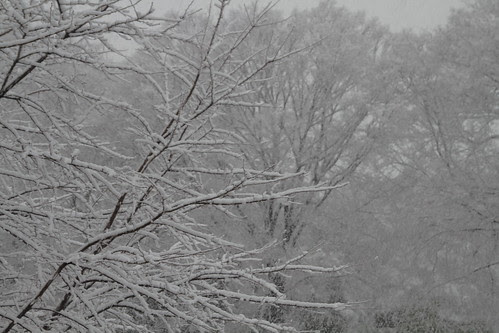 Trees covered i snow