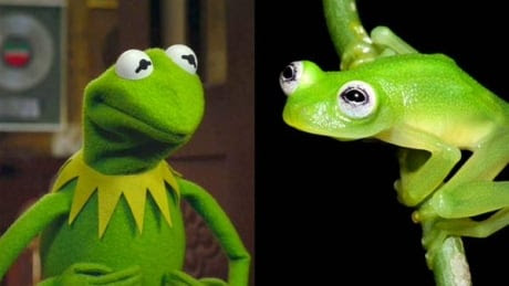 Frog discovered in Costa Rica resembles Kermit