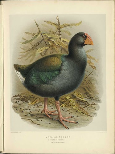 Moho or Takahe - Notornis mantelli