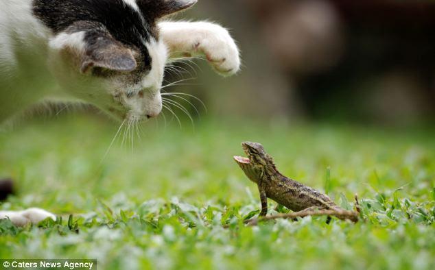 Γάτα vs σαύρα