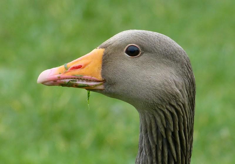 29236 - Greylag Goose, Sandy Water Park