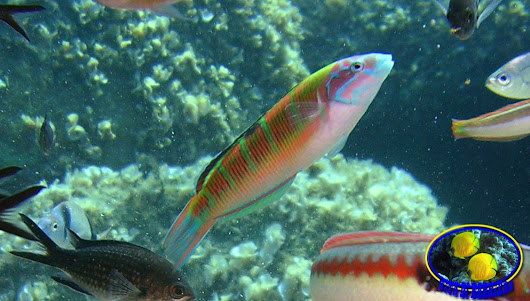"Data sheet: Thalassoma pavo ""Ornate Wrasse"""