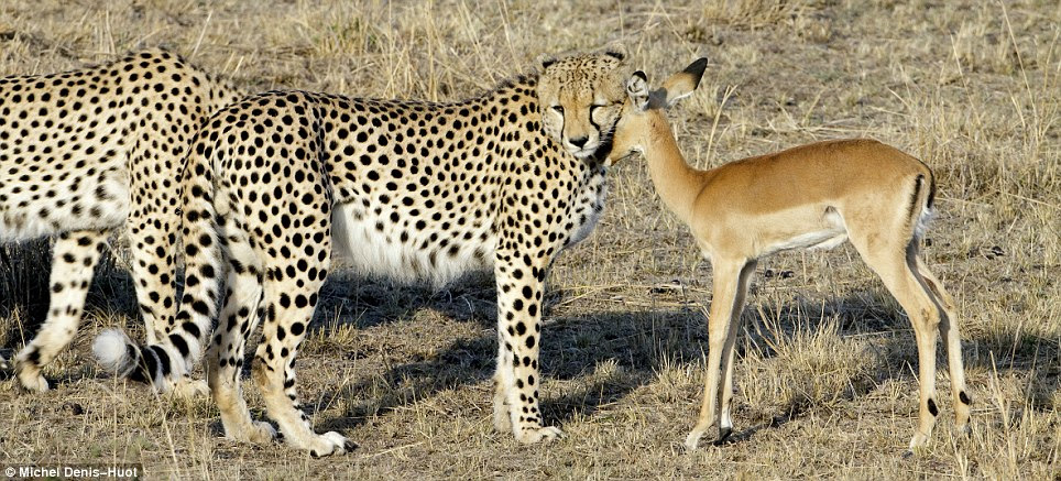 Sticking your neck out: Oblivious to the danger, the impala appears to return the affection to the cheetahs
