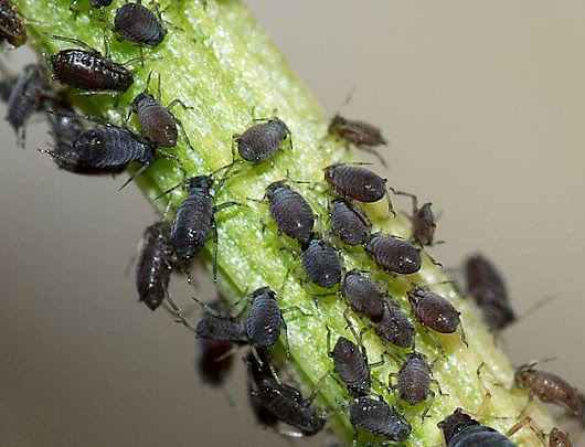 How To Get Rid Of Aphids On Plants Naturally & Organically