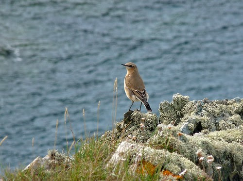 11455 - Wheatear at Strumble Head