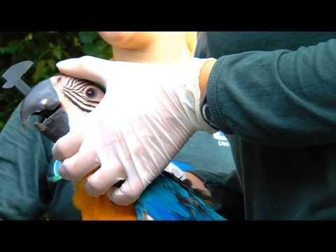 Projeto monitora mais de 400 araras que vivem em Campo Grande