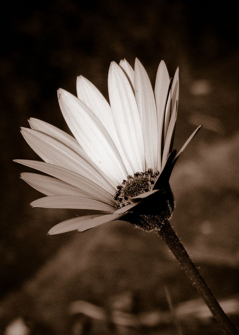 flower,summer,b&w,BW