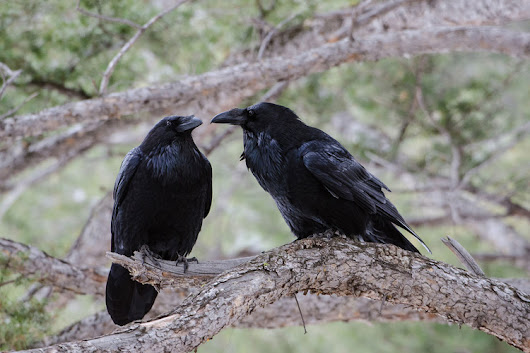 Ravens Are Evolving, and Not in the Way You'd Expect — National Geographic