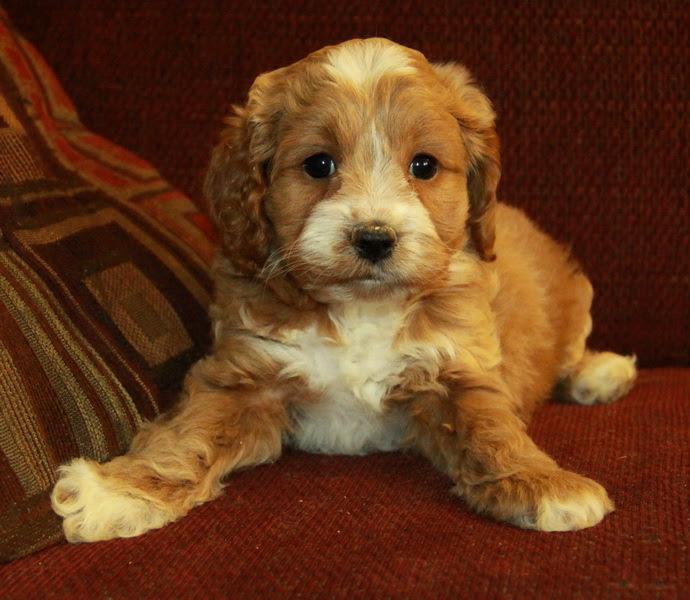 Litter of F1 Cockapoo Puppies for Sale | Queensland Australia