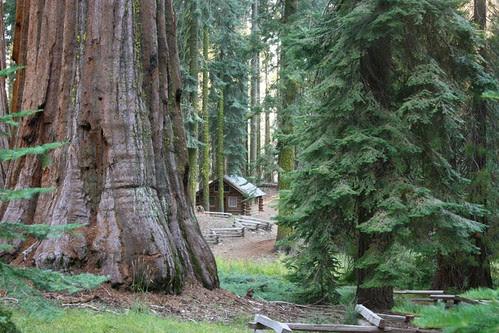 Mariposa Grove Sequoia