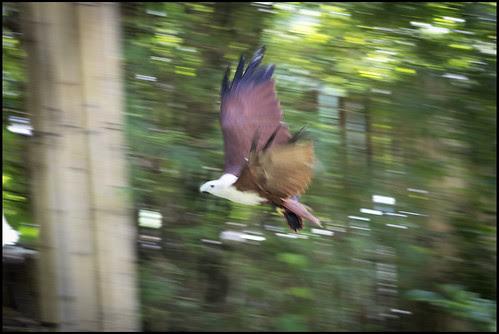 Eagle at Phuket Bird Park