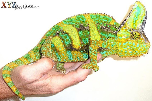 The Benefits & Positive Effects of Caring for a Reptile Pet