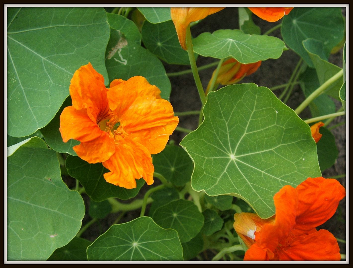Nasturtiums by Angie Ouellette-Tower for godsgrowinggarden.com photo 029_zpsfca6f89f.jpg