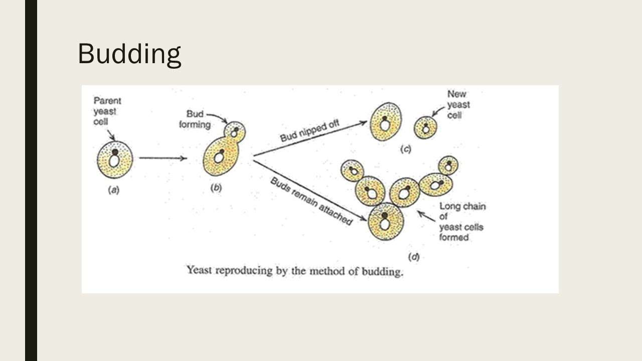 Yeast Cell Budding Diagram