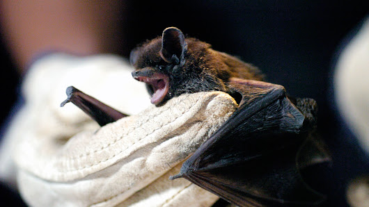 Bats In The Bedroom Can Spread Rabies Without An Obvious Bite