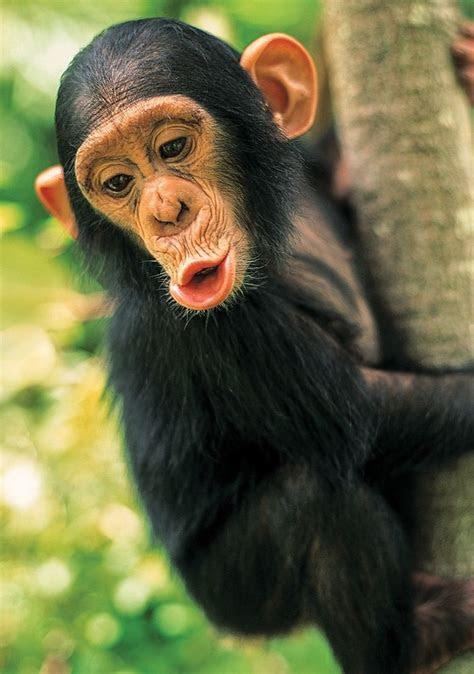 animal planet  parca yavru maymun puzzle