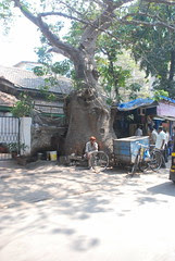 The Baobab Of Bandra by firoze shakir photographerno1