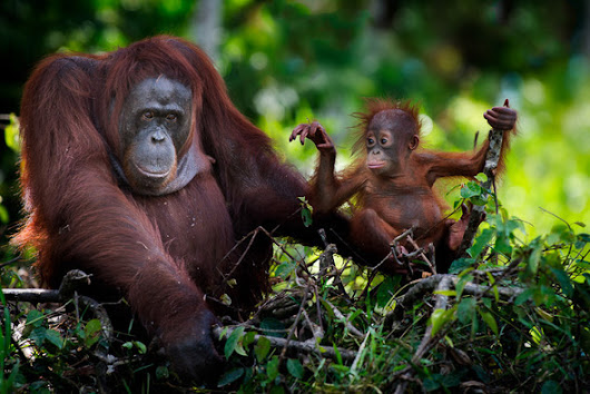 9 Day Orangutans, Wildlife and Dayaks Photo Expedition with Mark Rayner and David Metcalf 9 - 21 April 2018