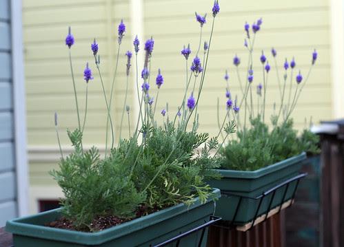 Lavender: backside