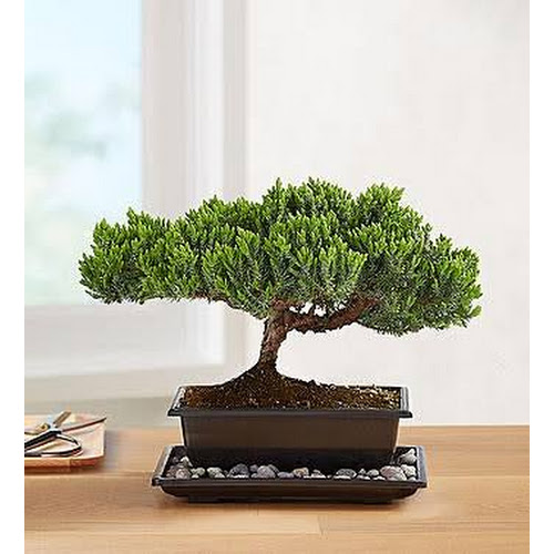 Juniper Bonsai - Plants