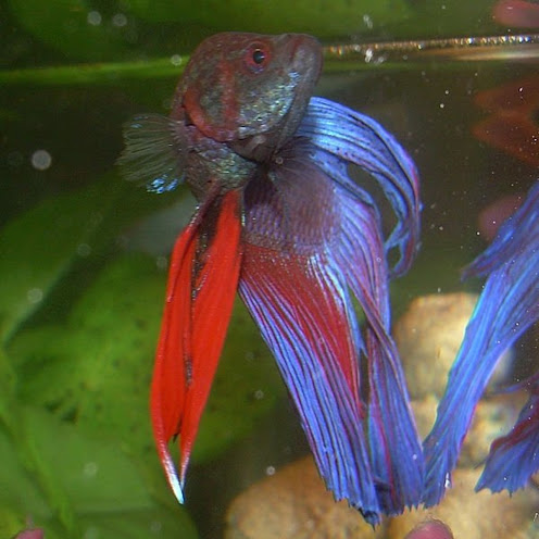 Do Betta Fish Need a Heater and Filter in their Tank?