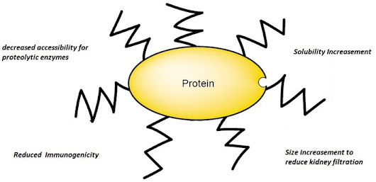 Characterization of Protein PEGylation