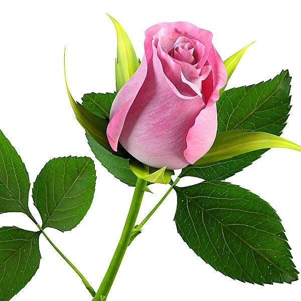 39 Gambar Bunga Mawar Setangkai Koleksi Terkini