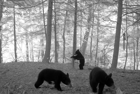 Black bears on the move in upstate New York | Cornell Chronicle