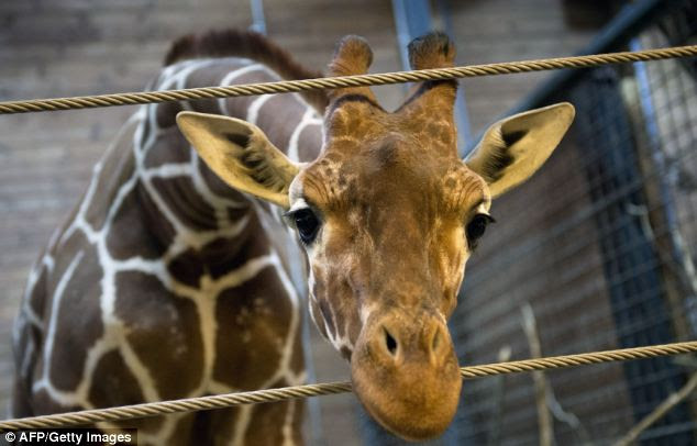 Perfectly healthy: The giraffe named Marius who was shot dead and autopsied in the presence of visitors to the gardens at Copenhagen Zoo