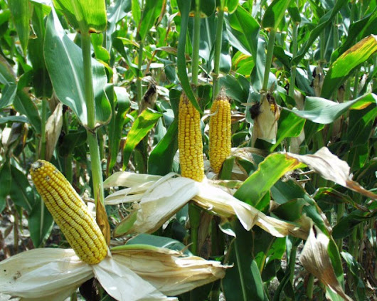 Planting GMOs kills so many bugs that it helps non-GMO crops