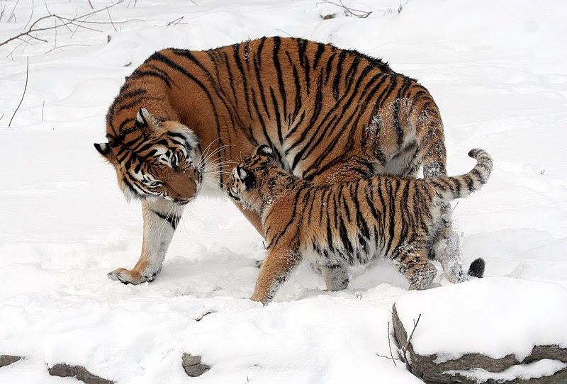 File:Panthera tigris altaica 13 - Buffalo  Zoo.jpg