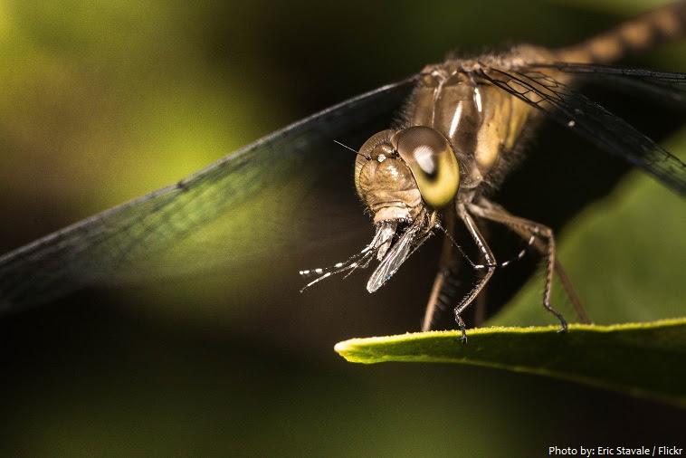dragonfly φαγητό