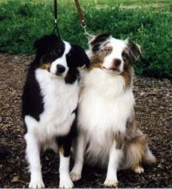 Australian Shepherd Dog Breeds