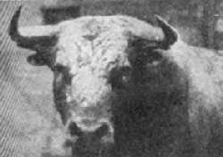 El divino toro ibérico