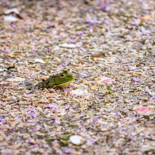 """Green Tree Frog and Flower Petals"" by cherylpelavin"