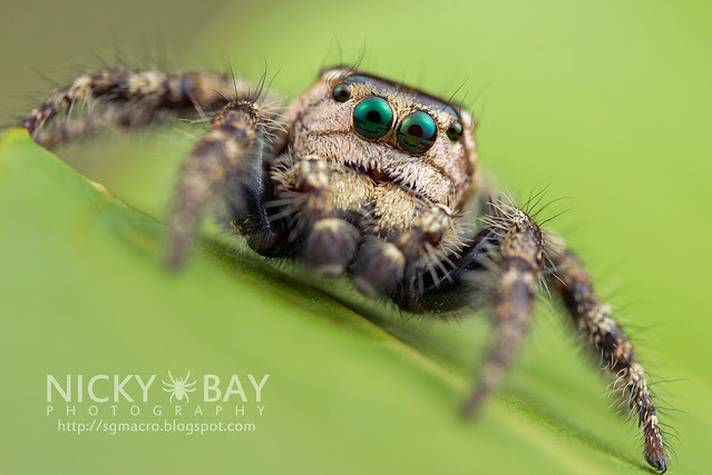 Jumping Spider (Salticidae) - DSC_8449