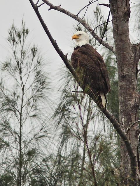 Bald Eagle female 3-20140207