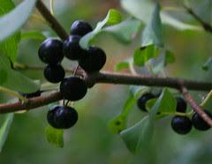 mba black berries
