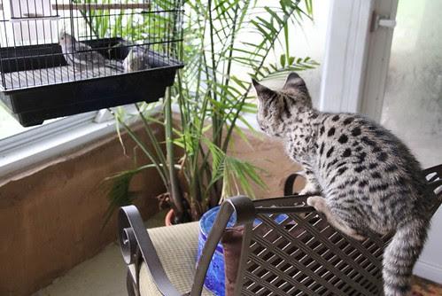 F1 Savannah kitten FOCUS preying on birds